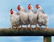 Çin'e kanatlı eti ve ürünleri ihracatı başladı